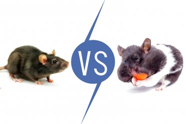 Rats vs Hamsters as Pets