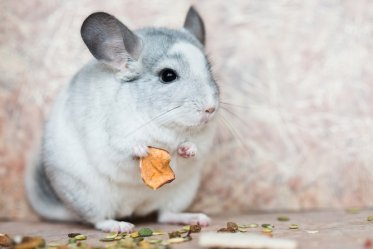 Chinchilla Food and Treats