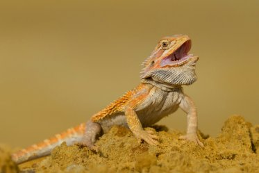 Bearded Dragons as a Pets