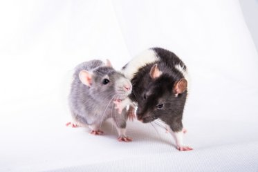 Difference Between Pet Rat and Wild Rat