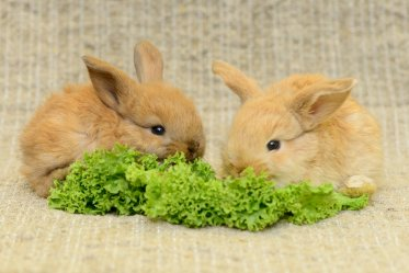 Healthy Diet Tips for the Rabbit