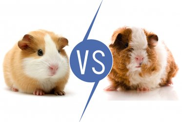 Guinea Pigs vs Hamsters