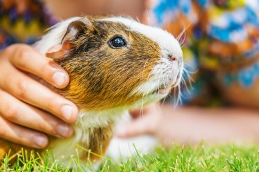 Guinea Pig Pros and Cons