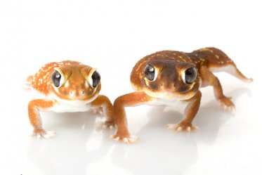 Types of Geckos pets