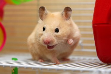 Hamster Lifespan