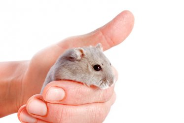 Hamster as Pets: Pros and Cons