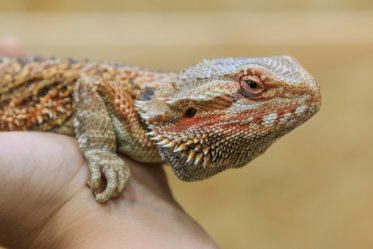 Bearded Dragon Pros and Cons