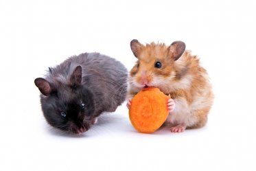 Types of Pet Hamsters