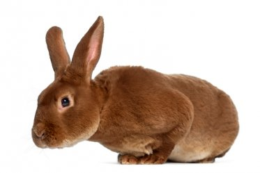 Rex Rabbit as a Pet
