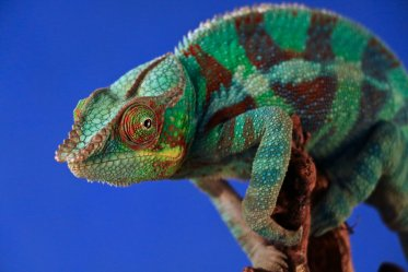 Chameleon as a pet: Pros & Cons