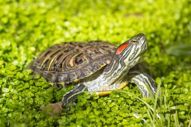 Red-Eared Sliders as Pets