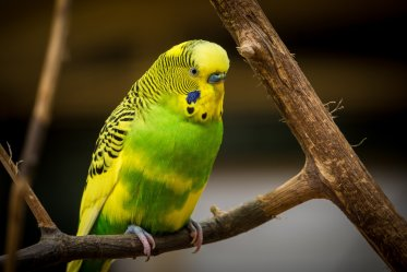 Parakeets Facts