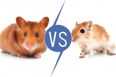 Hamsters vs. Gerbils