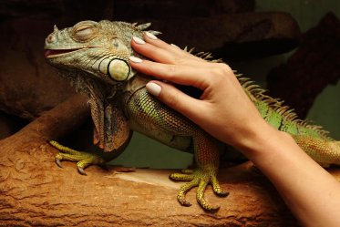 Iguana Types for Pets