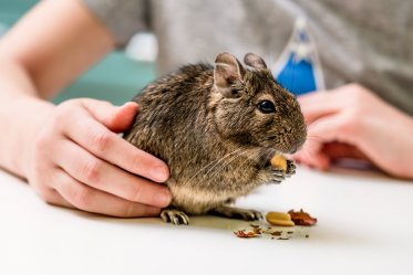 Degu as a Pet