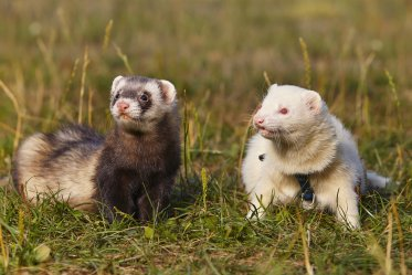 Pet Ferrets Types & Colors