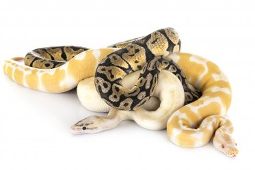 Types and Morphs of Ball Pythons