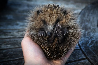 Do Hedgehogs Make Good Pets?