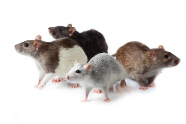 Domestic Rat Types