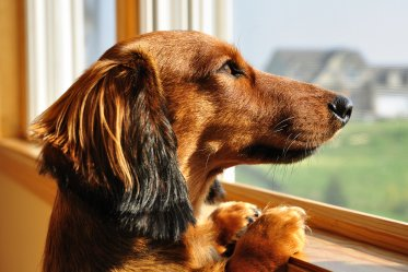 Dachshunds Facts