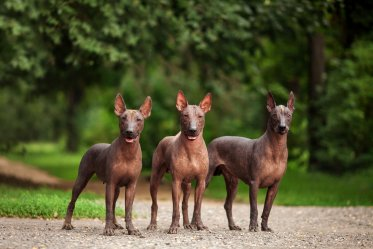 Mexico Dog Breeds