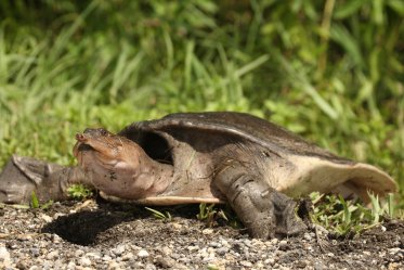 Softshell Turtle as a Pet