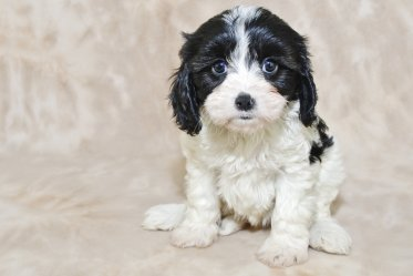 Cavachon Mixed Breed