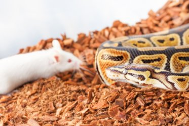 Why a Ball Python Won't Eat