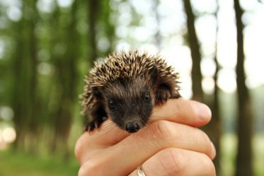 The Pros and Cons of Owning a Hedgehog As a Pet