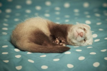 Ferret as a Pet: Cons & Pros