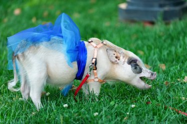 Teacup Pig Food & Diet