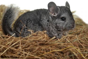 Pros and Cons of Having a Pet Chinchilla