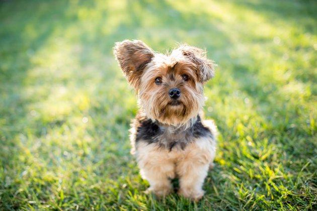 Teddy Bear Dog Zuchon 8 Bonus Breeds Pet Comments