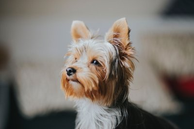 Top 10 Small Dog Breeds A Pint Sized