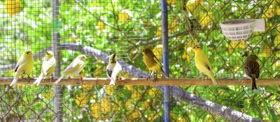 canary birds inside a cage