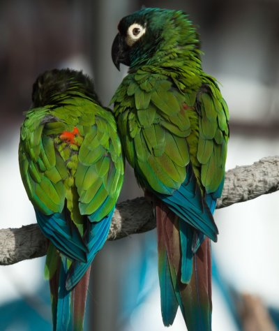 Top 10 Popular Macaw Pet Species [With Photos] | Pet Comments