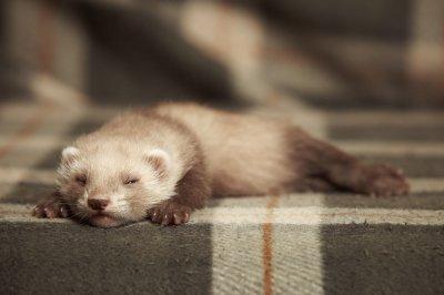 Pet Ferrets Types & Colors [With Photos] | Pet Comments