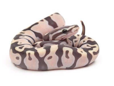 scaleless ball python
