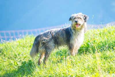 bergamasque shepherd dog