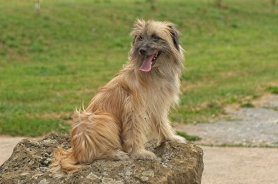 a long haired pyrenean shepherd dog