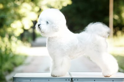 bichon frize on nature background