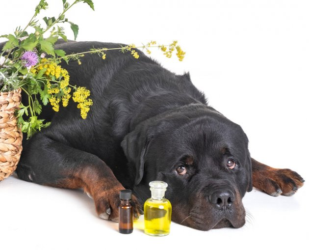 rottweiler with oils bottles