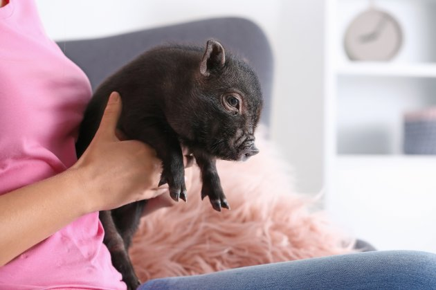 woman with cute mini pig