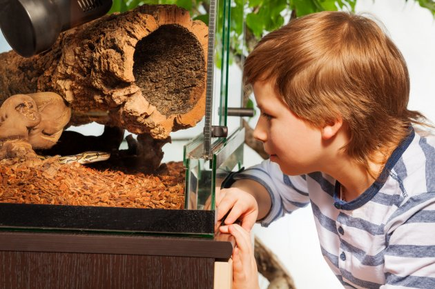 boy watching ball python