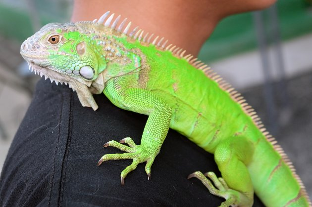 green iguana on shoulder
