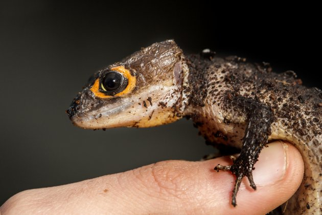 red eyed crocodile skink on a finger of a man