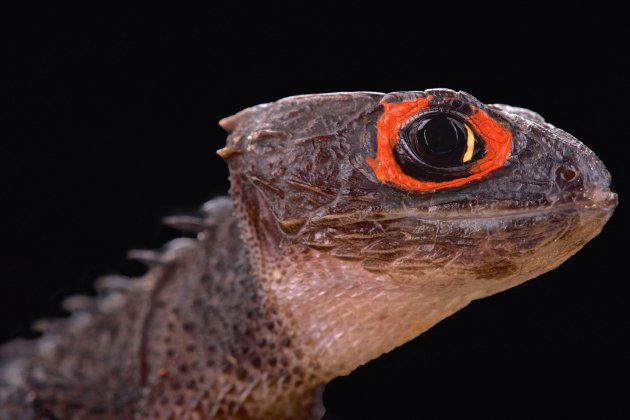 red eyed crocodile skink (tribolonotus gracilis)
