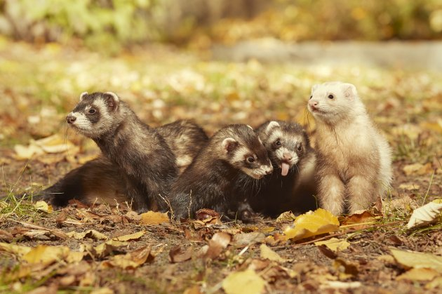 ferret group posing and enjoying their walk and game in park