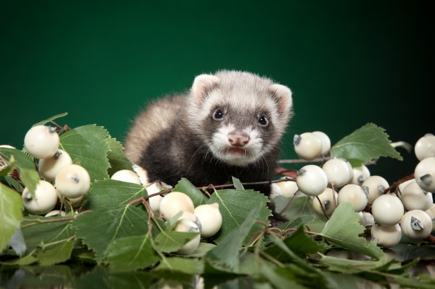 ferret puppy in green leaves on dark green background