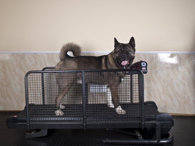 akita dog on a treadmill